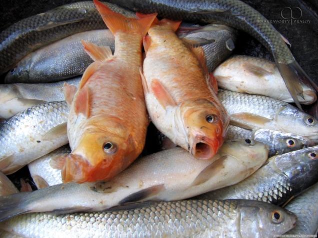 Азиатский пескарь угрожает пресноводной рыбе во Франции