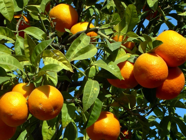 Греческие апельсины могут вернуться на российские прилавки