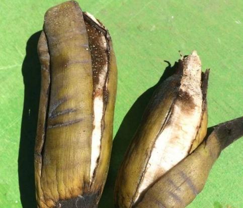 В «Аптекарском огороде» созрели большие бананы