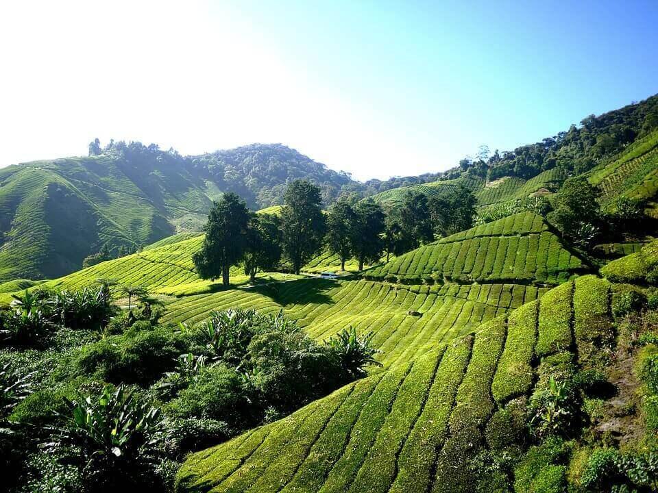 На аукционе в Китае продали право на сбор урожая чая за $100 тыс.
