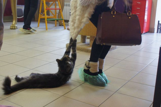 Владельцы питерского котокафе открывают «Республику котов»