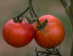 Из испорченных томатов будут получать энергию