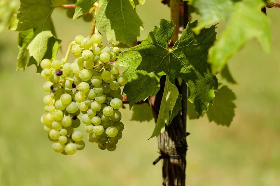 Российские ученые нашли способ увеличить пользу винограда
