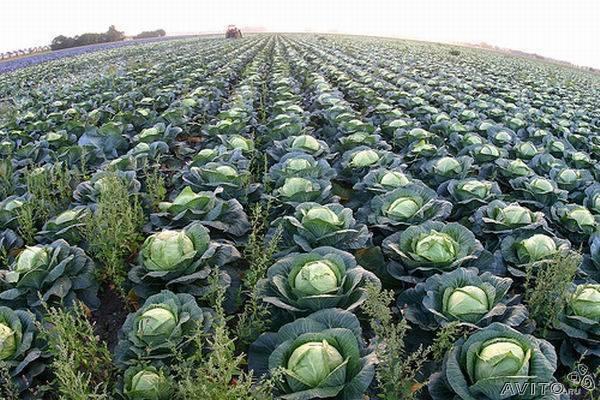 В России среди овощей больше всего подорожала капуста