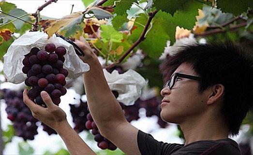 Китай обогнал Францию по площади виноградников