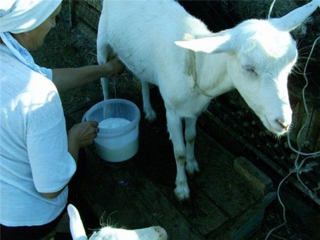 В Подмосковье запретили продавать козье молоко