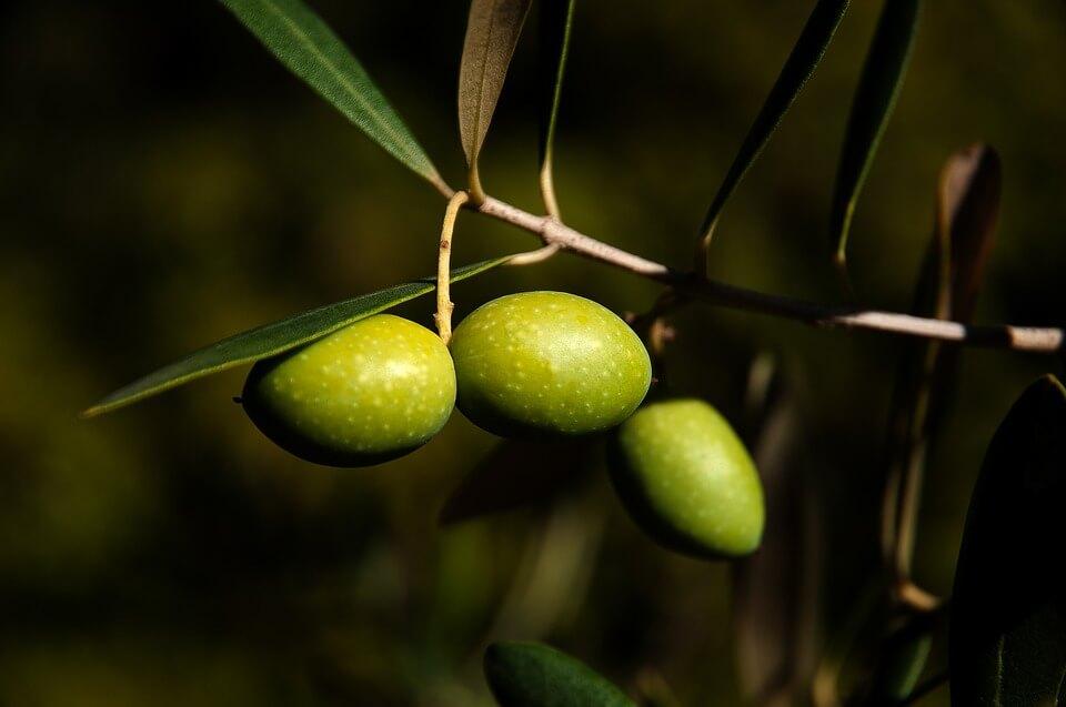 В Крыму запустят производство оливкового масла