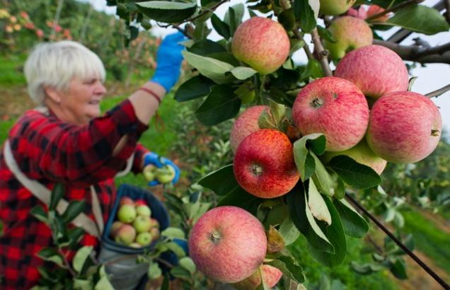 Польские экспортеры яблок хотят вернуться на российский рынок