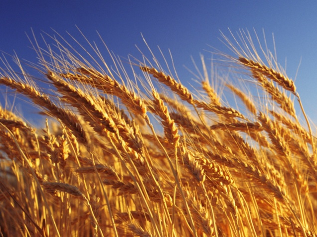 Экспортные пошлины на зерно отменять не будут