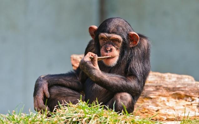 Шимпанзе научились готовить