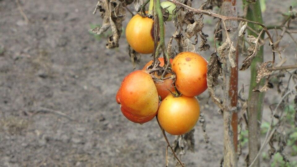 Morgan Stanley назвал российские овощи некачественными