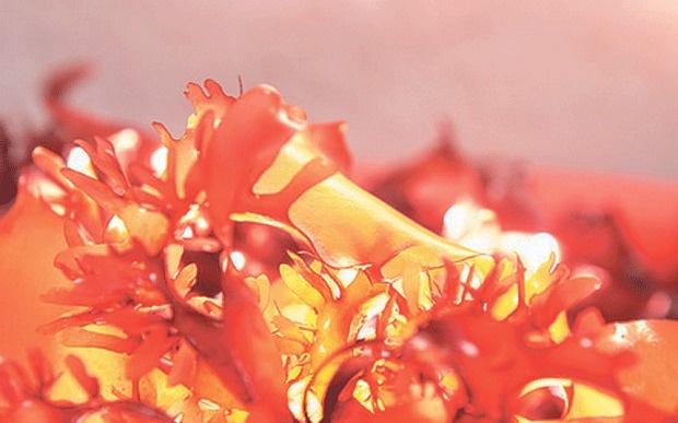 Ученые создали водоросли со вкусом бекона