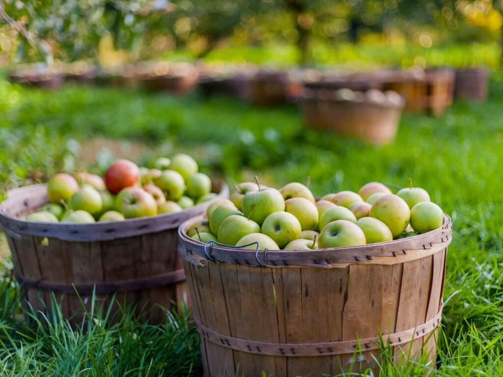 В Калуге впервые проведут яблочный фестиваль