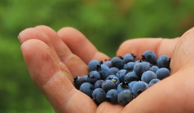 Финны разработают приложение для сбора ягод